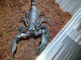 Vietnam forest scorpion