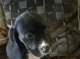 Beagle x cocker spaniel