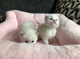 4 BEAUTIFUL BLUE LYNX RAGDOLLS 2 GIRLS AND 2 BOYS READY 26TH APRIL