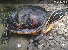 Florida red belly turtle wanted