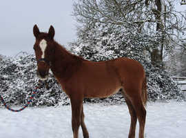 Andalusian X Colt available on weaning