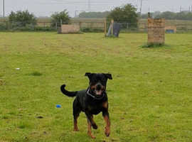 Rottweiler male