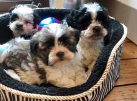Shih tzu cross poodles
