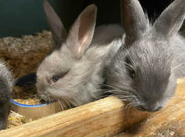 Swiss Fox baby bunnies