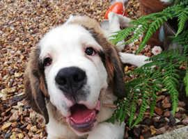 St bernard puppy for sale