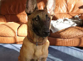 6.5 month old Belgium Malinois