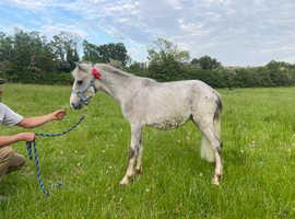 Sweet welsh pony