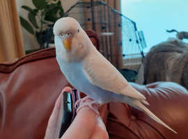 Budgie tame for sale