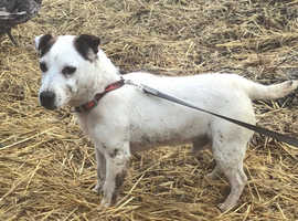 2 year old jack Russell boy