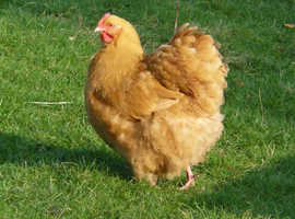 BUFF ORPINGTON POINT OF LAY PULLETS FOR SALE