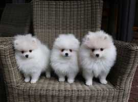 Teacup Pomeranian girls and boy