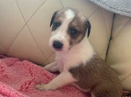 Rough collie cross puppy's