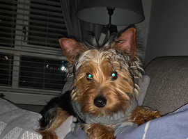 Yorkshire Terrier Male Pup For Sale