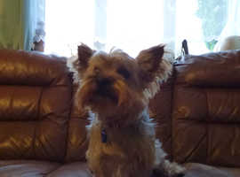Male Yorkshire Terrier , for stud. ((NOT FOR SALE))