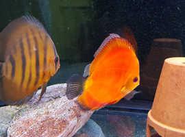 Discus fish breeding pair +1