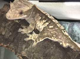 Male harlequin crested gecko + habitat