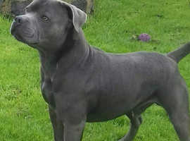 Solid blue staffy at stud