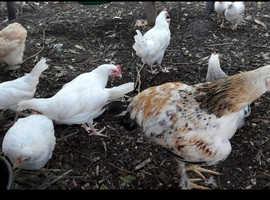 Chicken dave