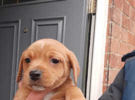 Jack Russell cross dachshunds