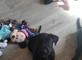 Labrador x puppy's