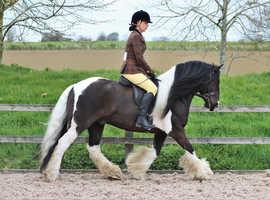 Top class coloured gelding Hermits risk factor