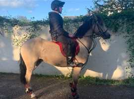 13.2 showjumping pony/ hunting pony