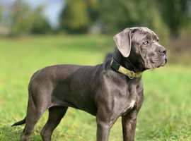 Cane Corso puppies 7 months old, fully trained