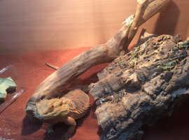 Friendly bearded dragon