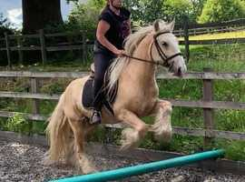 Moby 14hh palomino cob gelding for share/part loan - Arborfield - Berkshire