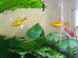 GOLDEN BARBS TROPICAL FISH