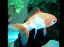 Baby fantail goldfish.