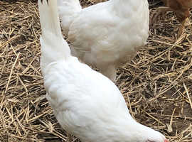White star pullets