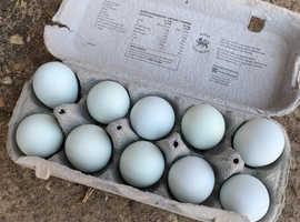 Hatching eggs crested cream legbar