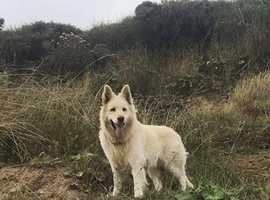 German Shepherd for stud