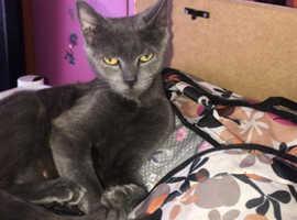 Male blue kitten ready now