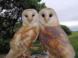 proven breeding pair of barn owls