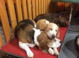 Lemon female beagle