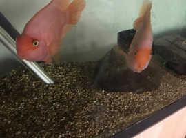 2 x large orange / yellow parrot fish