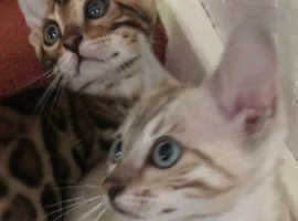 Bengal Cats & Kittens For Sale & Rehome in Derby | Find Cats