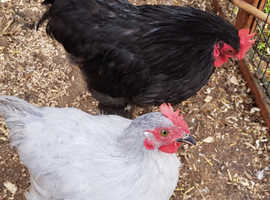 Pekin bantam cockerels