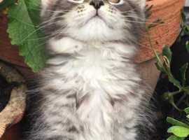 Mainecoon x Norwegian forest kittens
