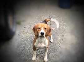 Outstanding Beagle