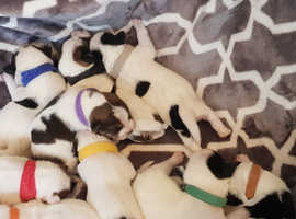 Stunning Jack Russel Puppies (All reserved)