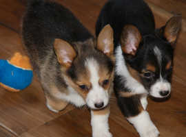 Kc Registered Corgi male and female Puppies