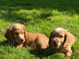 Ready now - cocker pups