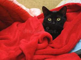 Beautiful black male cat needing new home