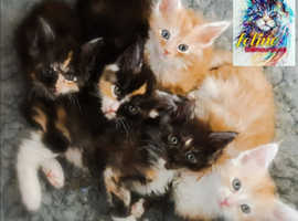 GCCF Maine Coon Kittens