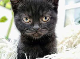 Gorgeous British short haired kittens
