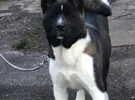 7 month old Akita for sale