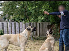 Turkish kangal puppies ready to leave august 30th